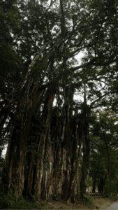 tree in Cabuya