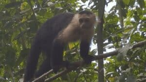 tortuguero national park monkey