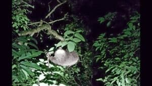 monteverde night walk - sloth