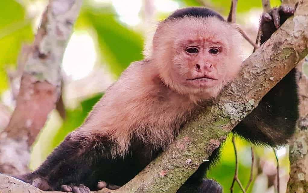 corcovado monkey
