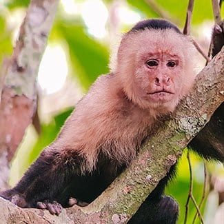 puerto jiminez monkey