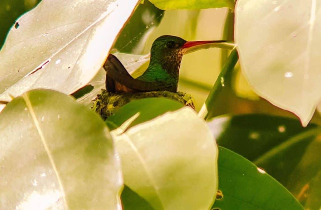 bird puerto jiminez