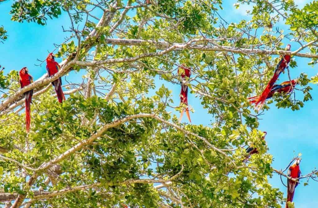 parrots costa rica