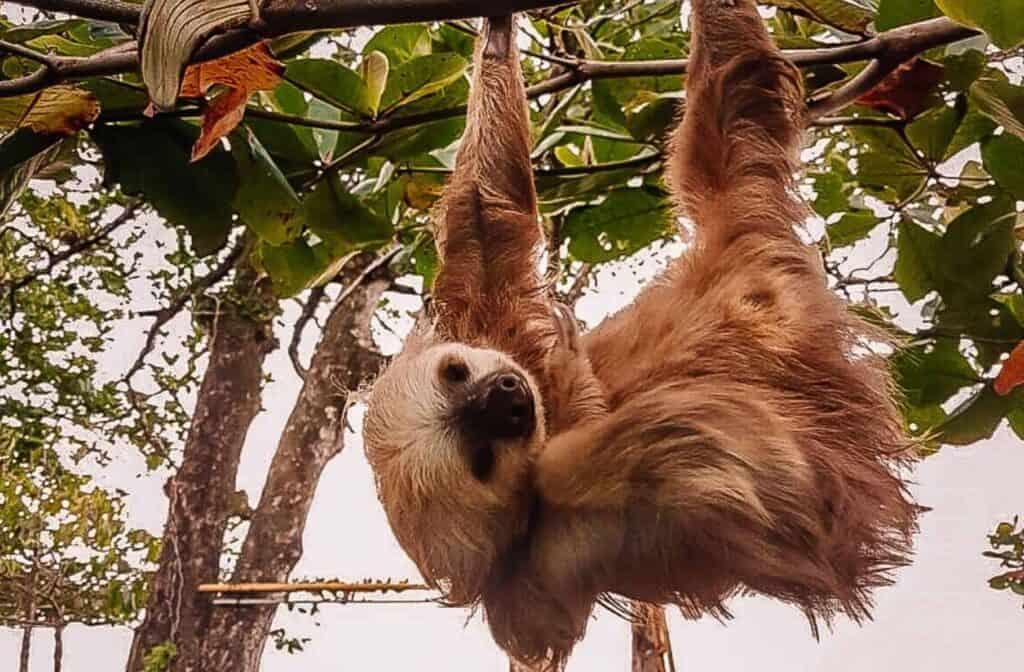 sloth cahuita
