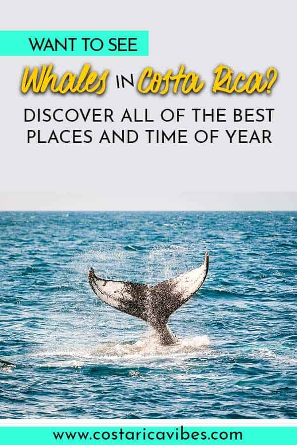 Costa Rica is known for its excellent fishing and numerous sea turtle nesting areas, but did you know that the waters on the Pacific coast are also migratory locations for Humpback Whales? In fact, it is possible to see Humpback Whales in Costa Rica all throughout the year. Find out how! #CostaRica #humpbackwhales