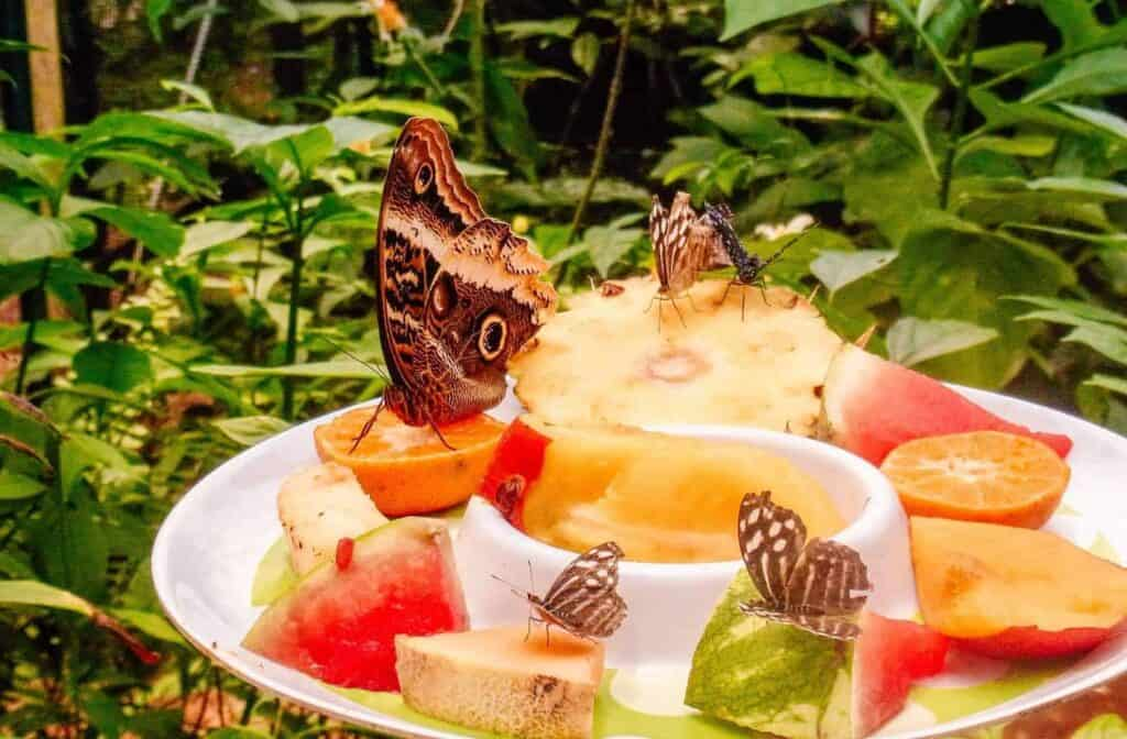 butterfly la fortuna