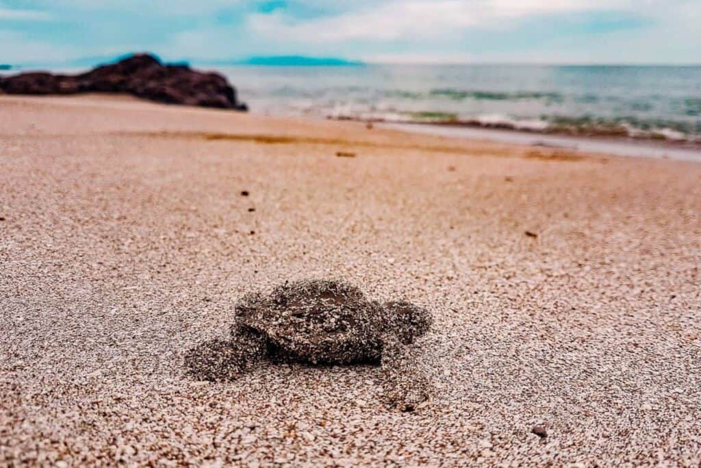montezuma turtle
