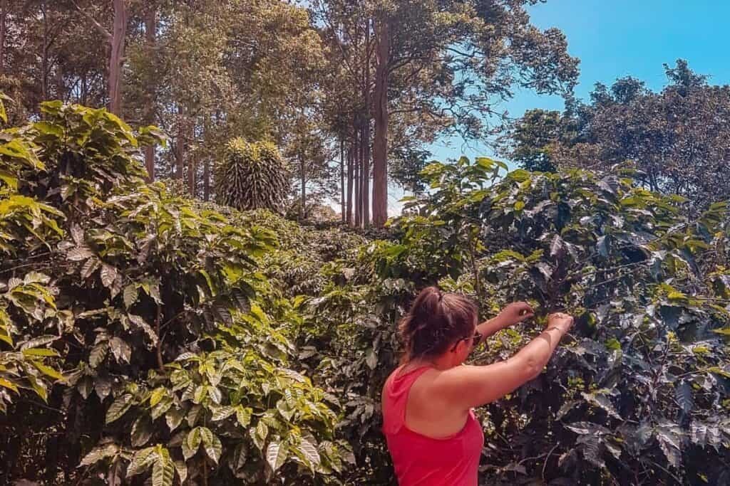 coffee picking alajuela