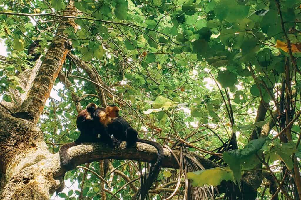 monkeys in cahuita national park