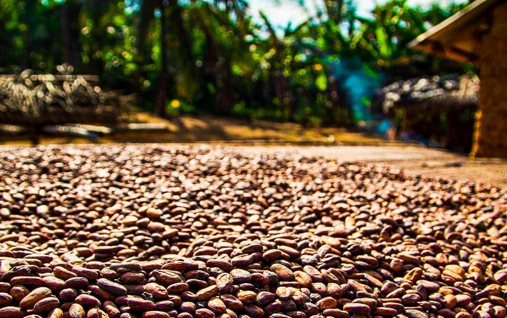 cacao costa rica