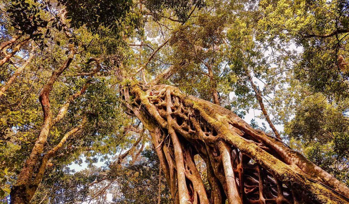 monteverde ficus