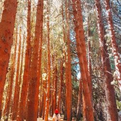 cartago forest prusia